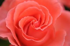 Rose 'America' raised in USA (naruo0720) Tags: rose americanrose americanrosecollection roseamerica    macro bokehmelting bokeh