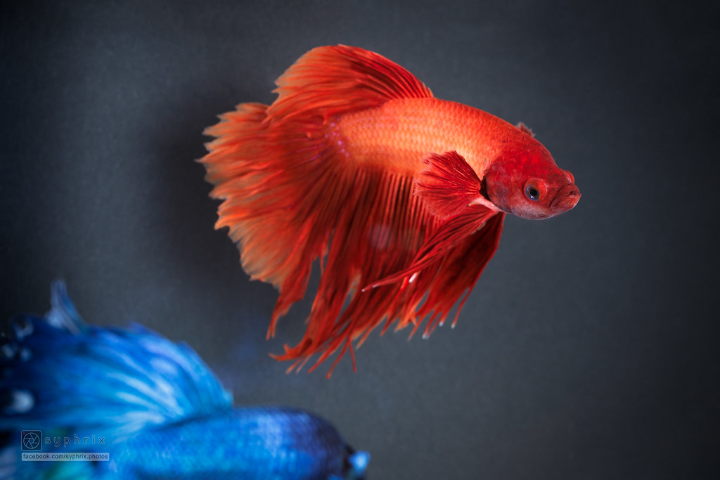 The World's Best Photos of betta and pet - Flickr Hive Mind