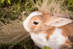 IMG_1720.jpg (ina070) Tags: animals canon6d cute grass outdoor outside pets rabbit rabbits