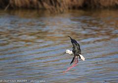 _MG_8897 LR flickr.jpg (Jean Louis BOUYER photographie) Tags: oiseaux échasse blanche échasseblanche