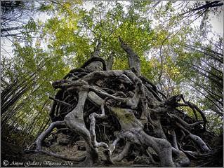 Sota l'arrel de l'arbre. ( Santa Fé - Montseny - Catalunya). Explore 14/11/2016