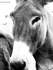 Asino di classe (sandra_simonetti88) Tags: asino donkey animal animale farm fattoria bn bw muso portrait allevamento transumanza primopiano ritratto animali fauna naso nose