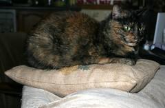 Hazel (saiberiac) Tags: 2016 november november2016 pet pets animal animals companionanimal hazel cat tortie tortoiseshell cute pillow indoor autumn fall