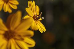 3530-2016-BR (elfer) Tags: flores girasol amarillo insectos abejas rivasvaciamadrid madrid espaa