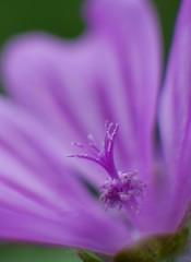 Outgoing (Senseel) Tags: macro flower violet petals pistil outdoor nature flowers plant lumixg7 color fragile