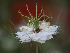 Love a creepy curly flower! (Scottmh) Tags: australia nikon victoria d7100 flora flower garden love mist white
