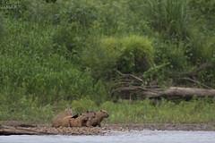 Capybaras (ggallice) Tags: capybara ronsoco caviidae hydrochoerushydrochaeris manunationalpark peru amazon rainforest jungle southamerica manuriver selva