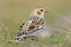 Sneeuwgors  (Snow Bunting) (Rob Zweers) Tags: plectrophenaxnivalis bruantdesneiges schneeammer snowbunting escrevedeiradasneves escribanonival sneeuwgors 300mmf4 nikon d610 mijt robzweers