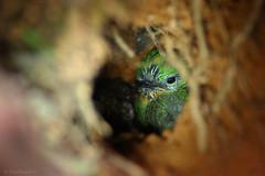 Chicui, Todus angustirostris, Narrow Billed Tody (Dax M. Roman E.) Tags: chicui todusangustirostris narrowbilledtody pichón tody anidamiento