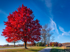 Autumn Blaze (Charles Ragucci Photography) Tags: valleyforgepark autumn tree red maple park fall sureal landscapes october november