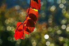 autumnal bokeh (Lutz Koch) Tags: bokeh bokehwednesday hbw happybokehwednesday light licht wilderwein laub blatt leaf foliage wildeweinrebe vitisviniferasubspsylvestris wilderweinstock herbst autumn elkaypics lutzkoch