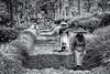 _DSC0783_BW (Schristia) Tags: teapicker teaplantation womenworker labourwomen kebunteh wonosari wisataagrowonosari humaninterest