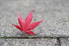 Unusual Landing (mikeyp2000) Tags: autumn maple acer grey colour lead highiso a99ii gray landed landing concrete pavement red