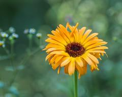 Ruffled Zinnia.... (zoomclic) Tags: canon closeup colorful xsi ef200mmf28lusm dof dreamy zinnia nature bokeh green garden yellow orange flower foliage summer soft outdoors zoomclicphotography