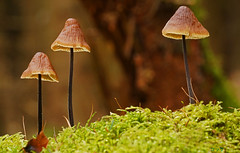 Trio (Lutz Koch) Tags: mushroom pilz waldboden wald forest soil trio elkaypics lutzkoch idstein idsteinerland taunus