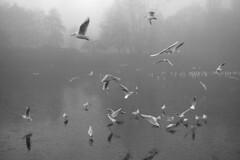 Sefton Park Lake (the underlord) Tags: 250asa kodakd76 6minutesatstock nikons3 nikons32000 rangefinder wnikkorc35cmf35 wideangle gulls frozenlake liverpool film filmcamera nikons32k feeding ice lake park