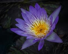 Tropical Water lily (shinichiro*) Tags: 20161027sdim0141edit 2016 crazyshin sigmasd1merrill sd1m sigma18300mmf3563dcmacrooshsm flower macro autumn october    nik