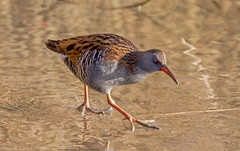 DSC7865  Water Rail.. (jefflack Wildlife&Nature) Tags: waterrail rails birds avian animal wildlife wildbirds waterbirds waders riverbirds lakes ponds canals countryside marshland marshes nature