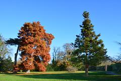 Swamp cypress is shedding orange foliage (Caulker) Tags: canonspark swampcypress 26112016