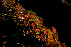 Autumn Hedge Backlit (hickish_one) Tags: leaves contra jour fall foliage color red shrub autumn backlit sundown subset