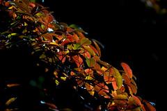 Autumn Hedge Backlit (heeeerod) Tags: leaves contra jour fall foliage color red shrub autumn backlit sundown subset