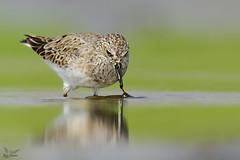 Temminck's Stint with catch ! (nomane172) Tags: temmincksstint bird animal outdoor wildlife nature wildlifephotography naturephotography birdsofbangladesh dhaka bangladesh nikon nikond750 d750 tamron tamron150600mm 150600mm ngc withcatch waterbird