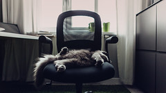 17.11.2016 (Fregoli Cotard) Tags: cat tomcat grey greycat greykitty greywalls kitty kitten sleepykitty cutekitty freckols britishlonghair british britishcat photojournal photodiary photographicaljournal dailyjournal dailyphotograph dailyphoto daily 366daily 366dailyproject 366days 366dailyjournal 366dailyphoto 366project 366photoproject 366photos everydayphoto everydayphotography everydayjournal aphotoeveryday 322366 322of366