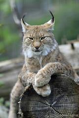 04052013 - Lynx (Marie Dupraz) Tags: flin lynx