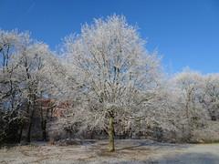 Buche im Fast-Winter (SebastianBerlin) Tags: 2016 berlin treptow johannisthal johannisthalerpark winter germany park     buche baum tree beech
