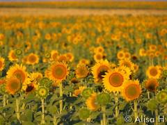 August 16, 2015 - Sunflowers at sunrise near DIA. (Alisa H)