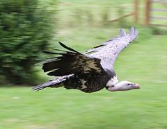 Vulture 3 (ahisgett) Tags: bird prey vulture birdofprey rppells