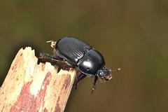 Geotrupes stercorarius (Linnaeus, 1758) (Jess Tizn Taracido) Tags: geotrupidae scarabaeoidea scarabaeiformia