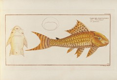 17821784 berlin earlyworks earlyworksto1800 engravings fishes germany handcoloring ichthyology pictorialworks subscriptionlistspublishing zoology harvarduniversitymuseumofcomparativezoologyernstmayrlibrary bhl:page=48187083 dc:identifier=httpbiodiversitylibraryorgpage48187083 fish artist:viaf=58900475 artist:name=johannfriedrichhennig taxonomy:binomial=loricariapleucostomus taxonomy:common=runzelmaul taxonomy:common=guacari taxonomy:binomial=hypostomusplecostomus taxonomy:common=suckingcatfish catfish taxonomy:common=suckermouthcatfish taxonomy:common=commonpleco pleco suckermouthcatfish histsciart