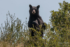 August 21, 2015 - A Black Bear keeps close watch in Waterton Canyon. (Tony's Takes)
