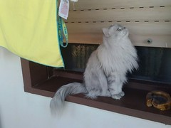 Romeo gatto persiano sulla finestra (romeosilverpersian) Tags: cats window cat finestra romeo gatto gatti persiancats scratchingpost silvertabby silvercat tiragraffi catbreed gattipersiani chinchillacats gattichinchilla