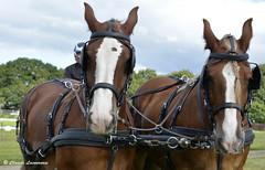 COMTOIS, Chevaux de trait attelés (claude 22) Tags: concours attelage corlay chevauxdetrait cheval chevaux caballo paard paarden άλογο cavallo cavalli cavalo breizh bretagne brittany claude22