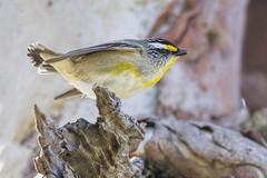 Striated Pardalote 2015-09-19 (_MG_5488) (ajhaysom) Tags: australia melbourne australianbirds greenvale striatedpardalote pardalotusstriatus canoneos60d sigma150600 woodlandshistoricpark