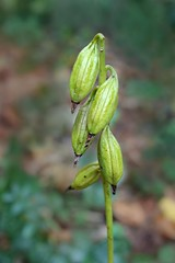 Orchidaceae: Aplectrum hyemale - Adam and Eve Orchid (Putty Root Orchid) seed pods (William Tanneberger) Tags: forest orchidaceae seedpod aplectrumhyemale aplectrum puttyrootorchid adamandeveorchid tannebergerwoods wdtseptember
