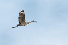 Sandhill  Crane -  Crane in Flight (digithief) Tags: ca cambridge ontario canada birds nikon sandhillcranes d800