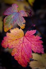 Haust (.Gu) Tags: fall leaves fallcolors haust lauf leav haustlitir gu ogud olafurragnarsson lafurragnarsson