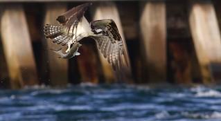 Osprey (Pandion haliaetus) OSPR -