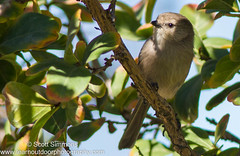 Bushtit (sjsimmons68) Tags: bird animals favorites fav chickadees bushtit titmice chickadeesandtitmice