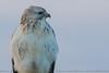 Buzzard (Steve Nelmes Photography) Tags: animal avian birdofprey birds buzzard cameragear canon14xteleconverter canon100400ismk2 canon7dmk2 feathered nature raptor stevenelmesphotography wildanimal wildbird wildlife