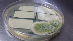 Aspergillus flavus (jenalra) Tags: fungus microbiology aspergillus