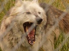 UK Wolf Conservation Trust (mattheweaston0051) Tags: uk bridge bw animals tongue reading nikon wolf conservation trust stare wolves ukwct l330 wateryawn