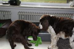 Cosette_386 (leeder-five) Tags: cosette rin pflegehund