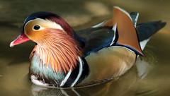 mandarijneend blijdorp JN6A0526 (j.a.kok) Tags: duck blijdorp eend mandarijneend