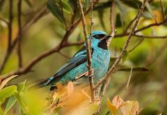 Sa-azul macho, Blue Dacnis male (Dacnis cayana) (Eduardo Morisso) Tags: bluedacnis dacniscayana