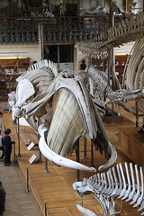 Baleen Whale Skeleton (praja38) Tags: life paris france nature animal skulls skeleton mammal skull marine gallery display dolphin caps diversity anatomy whale skeletons palaeontology capricorn rightwhale southernrightwhale baleen cetacean comparative