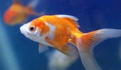 gold fish goldfish aquarium (watts_photos) Tags: gold fish goldfish aquarium